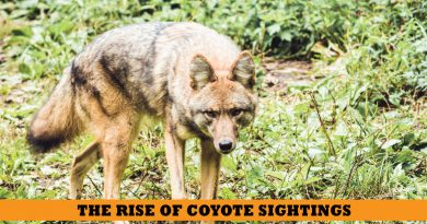 coyote snohomish county